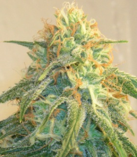 These happy marijuana buds show the power of good air ventilation in your grow room