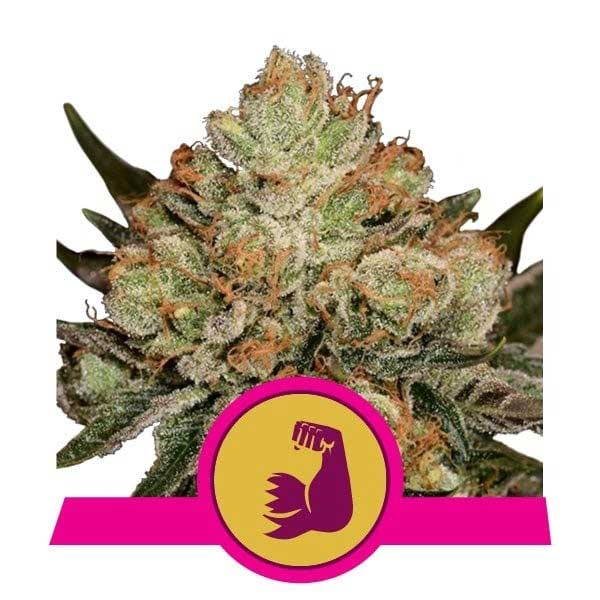 Hulkberry Colorado Pot Seeds
