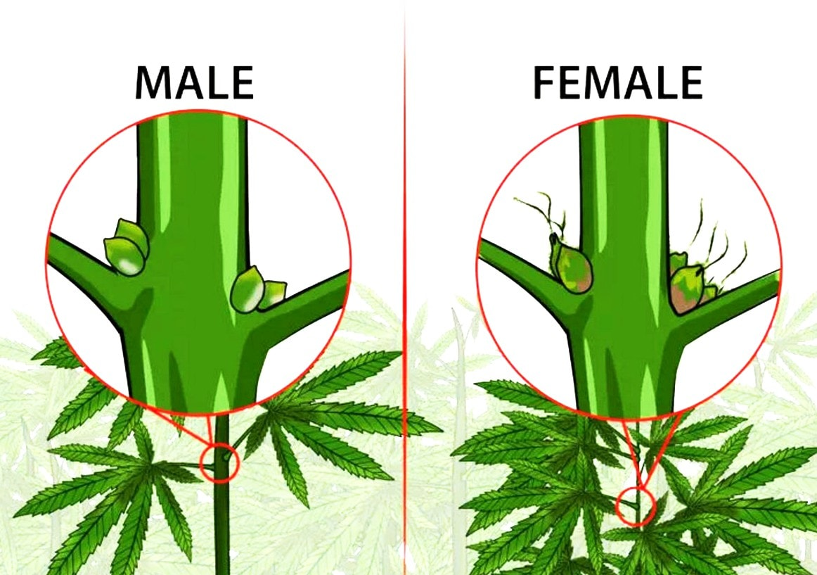 The difference between male and female marijuana plants