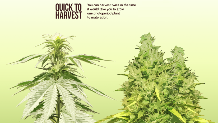 The Pros and Cons of Autoflowering Cannabis Seeds: A Fast Buds Primer - Part 2