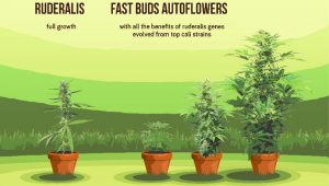 What is Autoflowering Cannabis A Fast Buds Primer