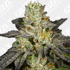 Tropical Fusion Feminized Seeds