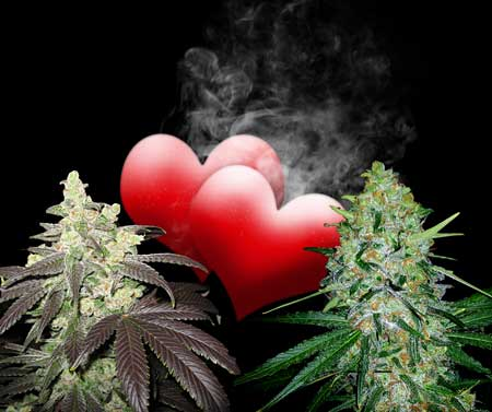Two female cannabis plants in love - Using the feminization method to make feminized pollen, you can successfully breed two female plants together, and all the resulting offspring will be female plants