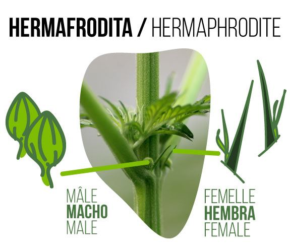 photograph of a hermaphrodite marijuana bud where you can see both male and female flowers*