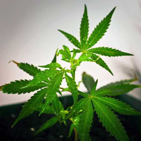 October 27 - Cannabis plant has been sprayed with colloidal silver daily in order to grow feminized pollen