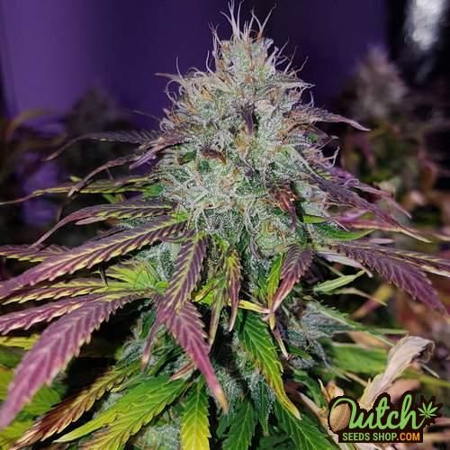 Flower from Blueberry seeds