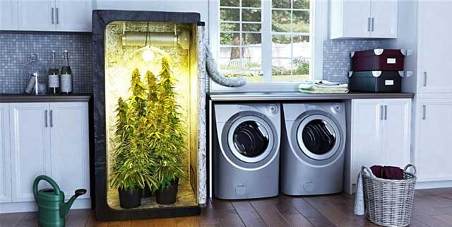 best indoor seeds for cannabis cultivation