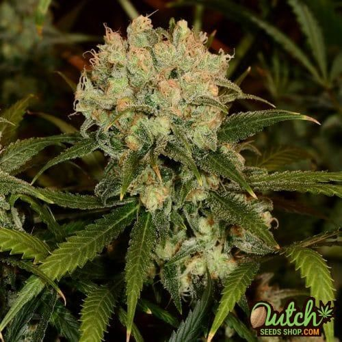 Bud from Northern Lights Seeds