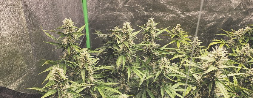 What Are Autoflowering Seeds?