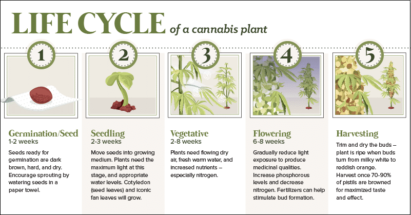The life cycle of a hemp plant