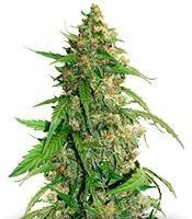 Buy CBD Auto Compassion Lime feminized seeds
