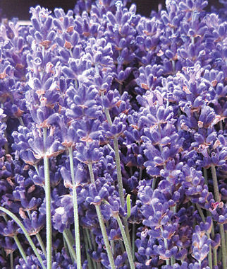 Growing Lavendar