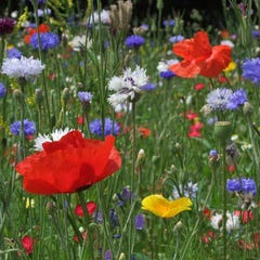 All Annual Big Color Wildflower Seed Mix - Simplicity
