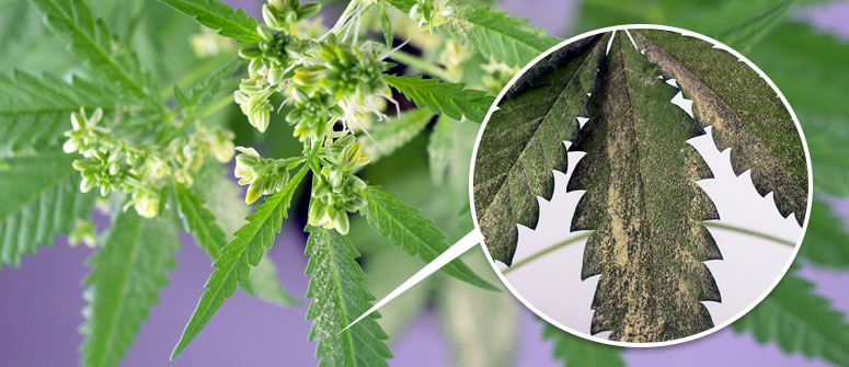 How to collect cannabis pollen from male plants?