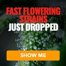 Fast Flowering Feminized strains from MSNL
