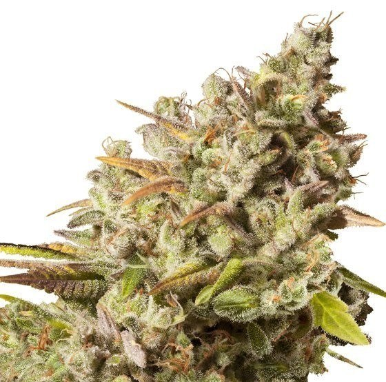 Royal Gorilla de Royal Queen Seeds