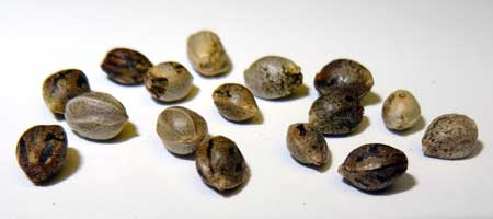 In the USA, ordering the best pot seeds online is just a click away!