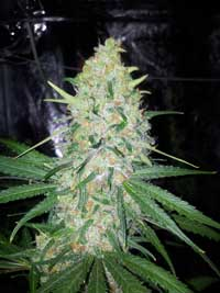 Get your weed seeds! This Northern Light weed plant is showing off the great Northern Light genes
