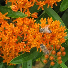 Orange Butterfly Weed Seeds, Asclepias tuberosa with bees
