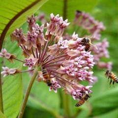 Pink Common Milkweed, Asclepias syriaca with bees