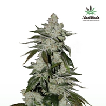Girl Scout Cookies (Fast Buds) Cannabis Seeds