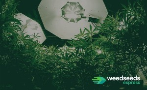 The difference between feminized and autoflowering seeds