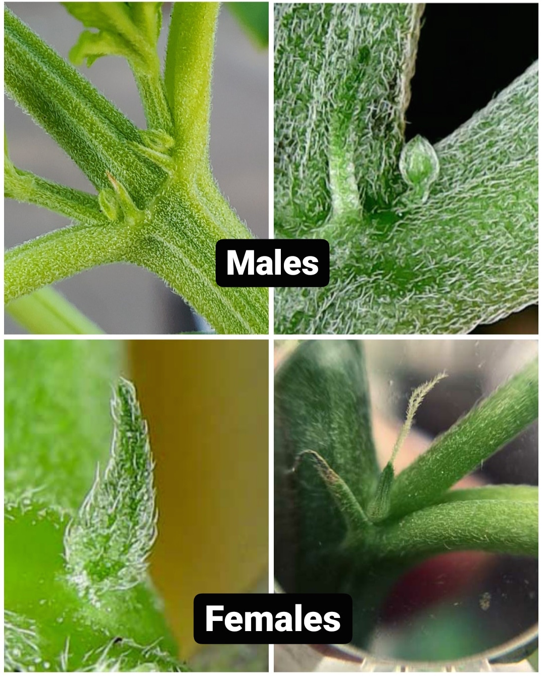 A four way image collage showing the difference between cannabis sex. The first image shows a close up of one of the nodes on the plant, coming out of the crook of the main stalk and auxiliary branch is a smaller rounded, spade like male preflower. The second image shows a close up of a male preflower that is sitting atop a stem. The third image shows a close up of a female preflower calyx, it has the shape of a pear. The fourth image shows a female preflower that has a white pistol or hair coming out of the top of the female preflower.