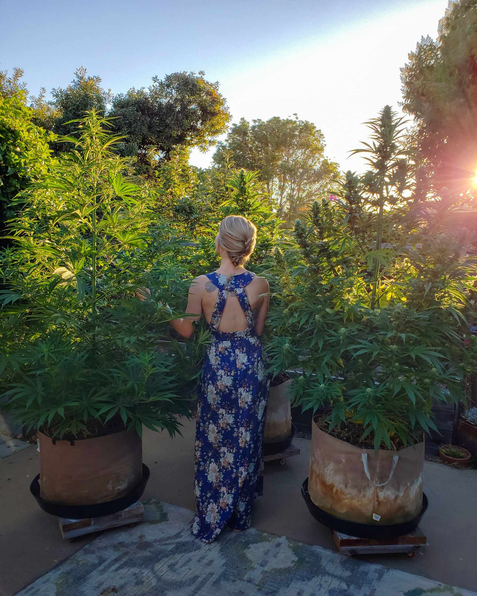 DeannaCat standing amongst mature cannabis plants in various stages of flower. The evening sun is shining in through trees casting a warm glow.mshe is wearing a blue dress with a floral/plant pattern.