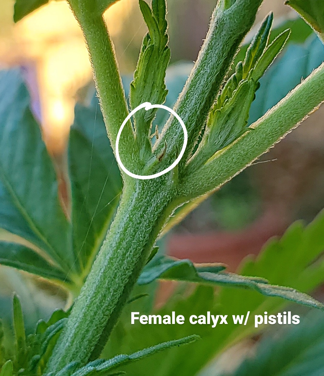 A close up image a female preflower or calyx with a pistil coming out of the top. Look for preflowers when determining your cannabis sex.