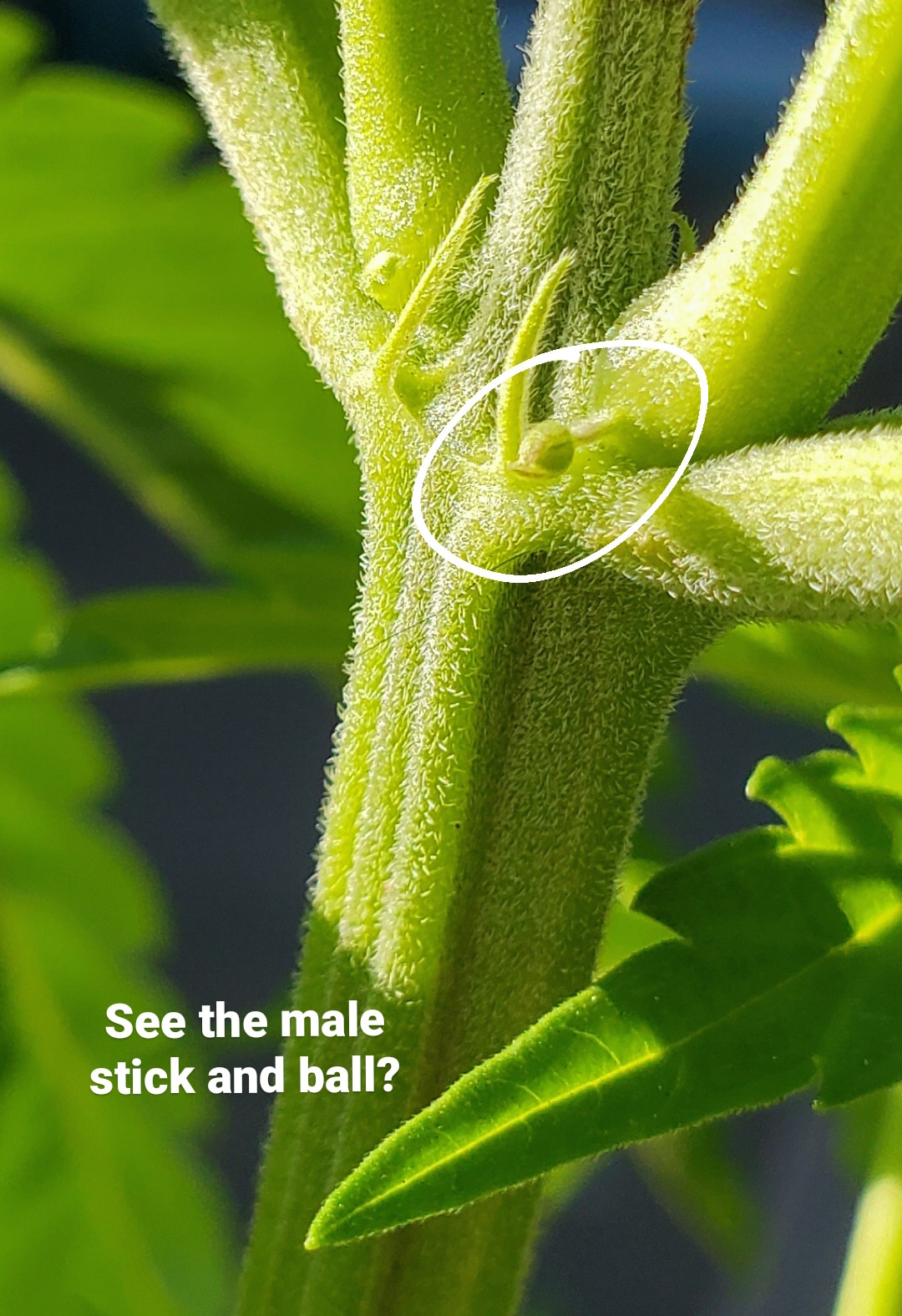 A close up image of a male preflower that resembles a ball on the end of a stick. The preflower is circled I. white and the bottom of the image has text that reads,