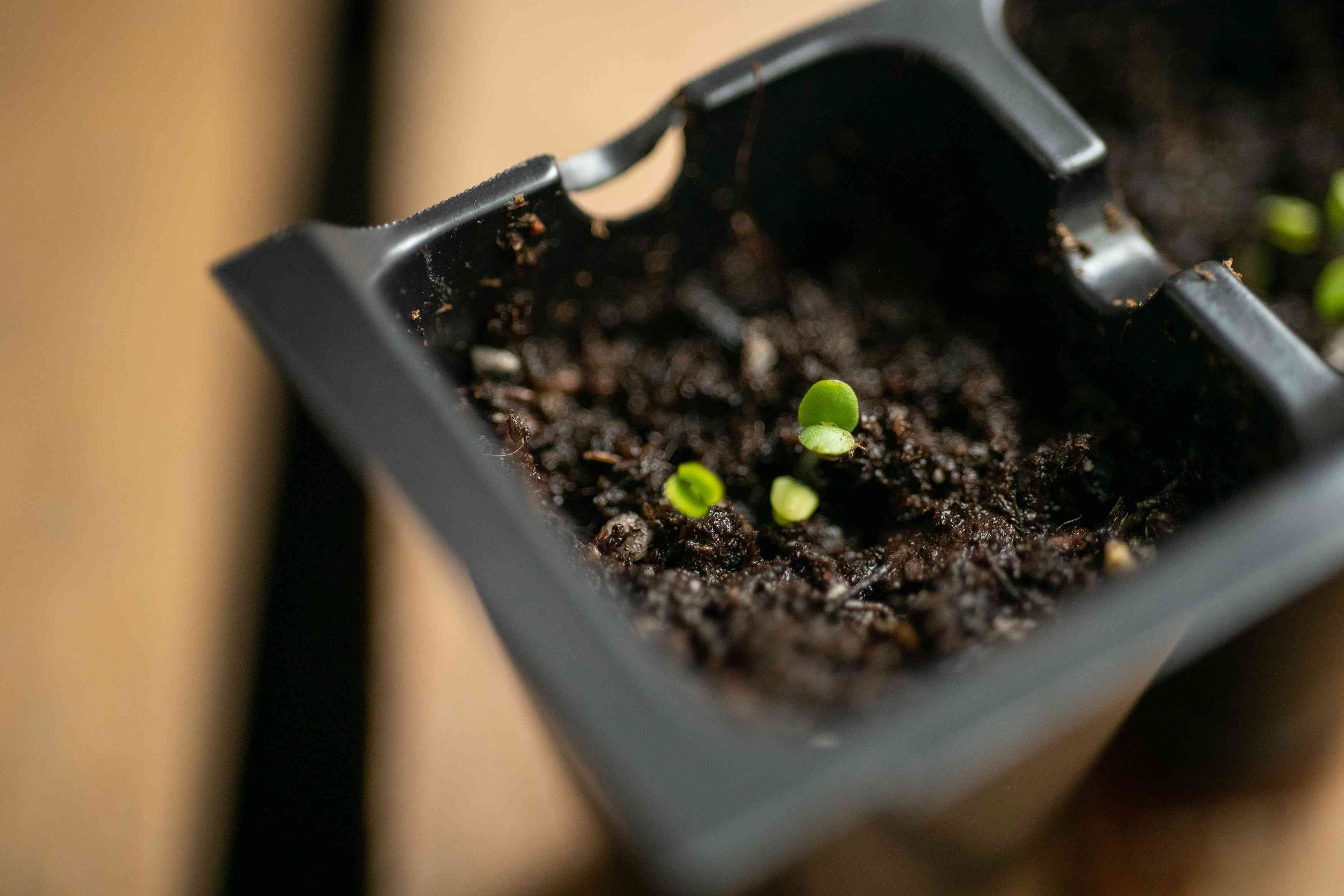basil sprouts from seed