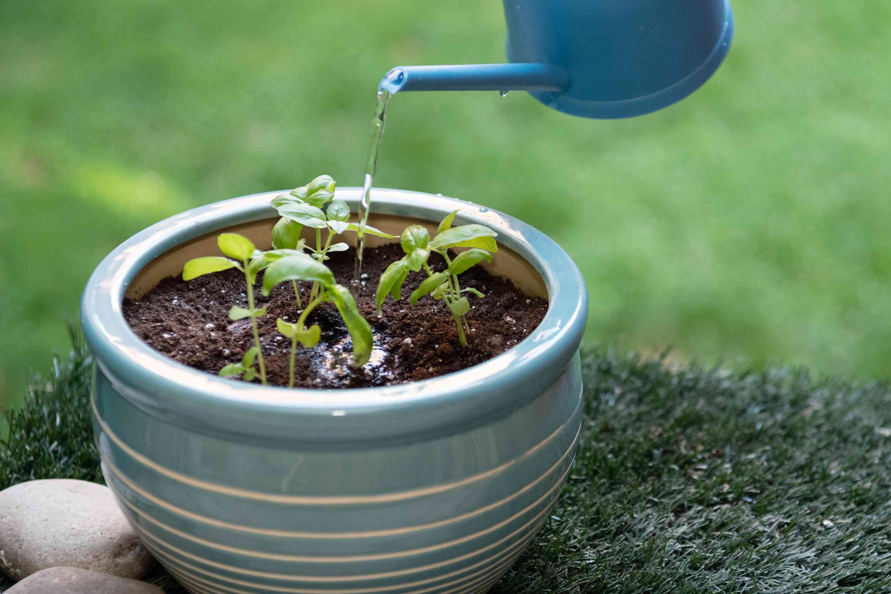 watering potted basil