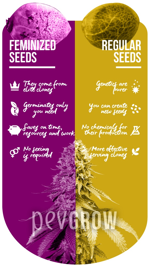 infographics that represent the advantages of feminized and regular seeds*