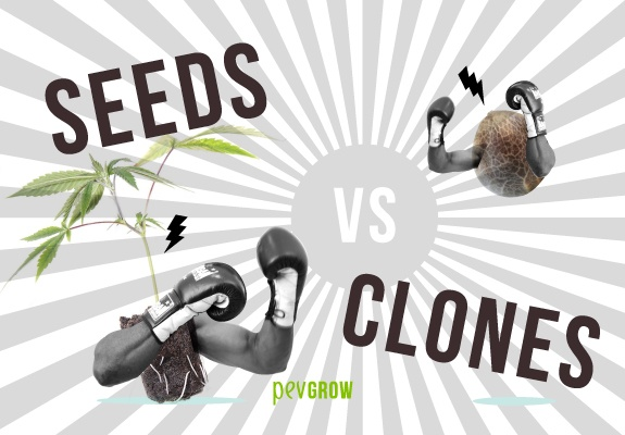 Seeds or clones? This is the question you've been asking yourself now that you've made the decision to grow your own cannabis