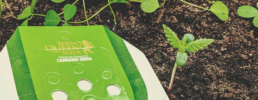 ADVANTAGES OF GROWING CANNABIS FROM SEEDS