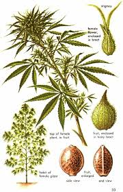 male and female weed structure