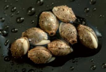 Germinated cannabis seeds with small shoots visible.