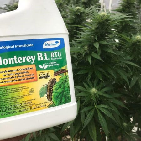 Monterey B.T. RTU (ready to use) spray is safe for cannabis plants and effective against caterpillars