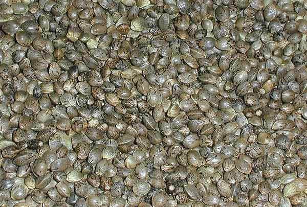 Lots of dappled healthy cannabis seeds.