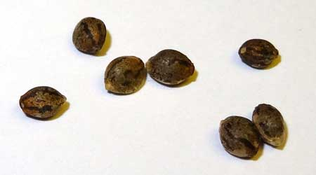 This closeup shows feminized cannabis seeds that I ordered online from Amsterdam