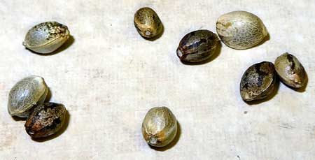Example of old cannabis seeds that are still good to go! Don