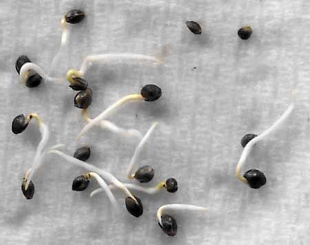 Example of a bunch of sprouting cannabis seeds!