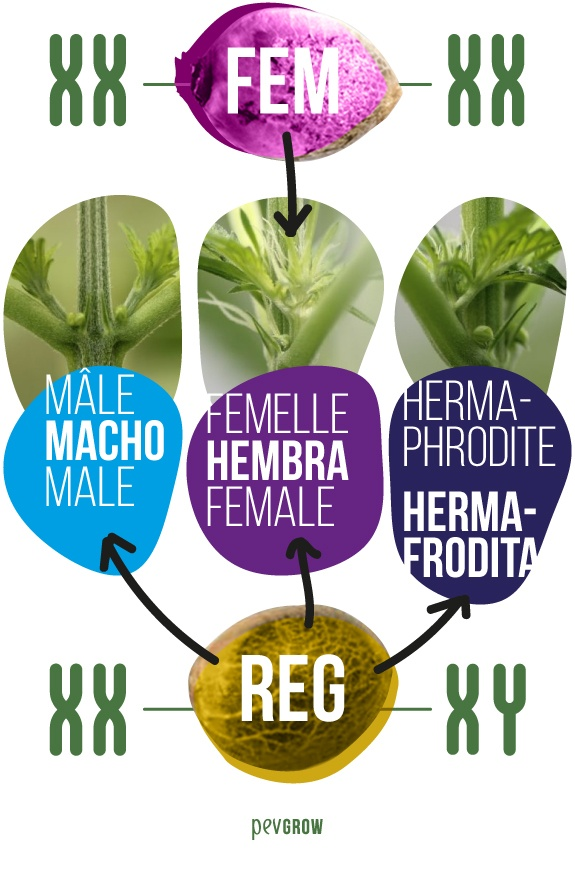 image where you can see a seed of a regular variety compared to a feminized one*