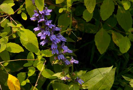 The Great Lobelia is a flower that reproduces in a way that is somewhat similar to the cannabis fertilization method